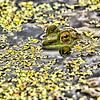 Maker:  Dale Lindenberg<br /> Title:  Frog Eye<br /> Category:  Pictorial<br /> Score:  11