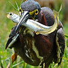Maker:  Don Angle<br /> Title:  Little Green Heron with Fish<br /> Category:  Wildlife<br /> Score:  12