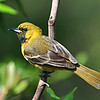 Maker:  Don Angle<br /> Title:  Orchard Oriole<br /> Category:  Wildlife<br /> Score:  11