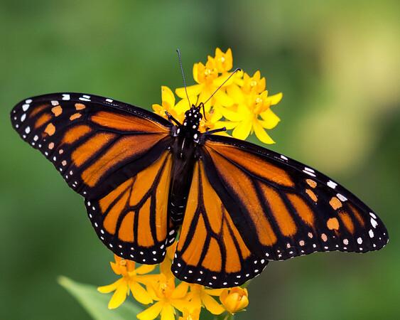 Maker:  Dirk J. Sanderson<br /> Title:  Butterfly 1<br /> Category:  Pictorial<br /> Score:  11