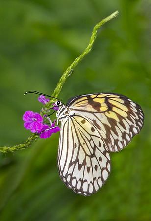 Maker:  Dale Lindenberg<br /> Title:  Butterfly on Flower<br /> Category:  Macro/Close Up<br /> Score:  12