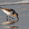 Maker:  Don Angle<br /> Title:  White Rumped Sandpiper<br /> Category:  Wildlife<br /> Score:  11