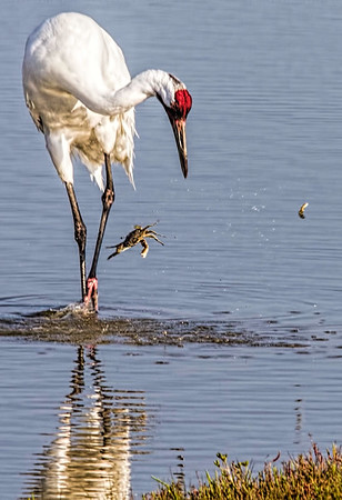 Maker:  Dale Lindenberg<br /> Title:  Whooping Crane with Crab<br /> Category:  Wildlife<br /> Score:  12