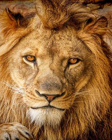 Maker:  Dale Lindenberg<br /> Title:  Lion<br /> Category:  Pictorial<br /> Score:  12