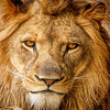 Maker:  Dale Lindenberg<br /> Title:  Lion<br /> Category:  Pictorial<br /> Score:  12