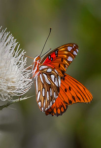 Maker:  Dale Lindenberg Title:  Gulf Frittery on Thistle Category:  Macro/Close Up Score:  14