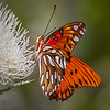 Maker:  Dale Lindenberg<br /> Title:  Gulf Frittery on Thistle<br /> Category:  Macro/Close Up<br /> Score:  14