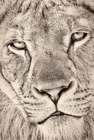Maker:  Dale Lindenberg<br /> Title:  Lion<br /> Category:  Black & White<br /> Score:  11
