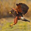 Maker:  Dale Lindnberg<br /> Title:  Harris Hawk<br /> Category:  Wildlife<br /> Score:  14