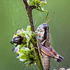 Maker:  Wayne Tabor<br /> Title:  Dewy Grasshopper<br /> Category:  Macro/Close Up<br /> Score:  12