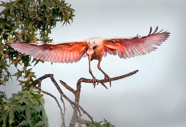 Maker:  Dale Lindenberg<br /> Title:  Roseate Spoonbill<br /> Category:  Wildlife<br /> Score:  12