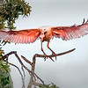 Maker:  Dale Lindenberg<br /> Title:  Roseate Spoonbill<br /> Category:  Wildlife<br /> Score:  12