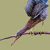 Maker:  Dale Lindenberg<br /> Title:  Green Heron<br /> Category: Wildlife<br /> Score: 14