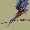 Maker:  Dale Lindenberg<br /> Title:  Green Heron<br /> Category: Wildlife<br /> Score: 14