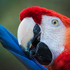 Maker:  Don Angle<br /> Title:  Parrot Preening<br /> Category:  Macro/Close Up<br /> Score:  12