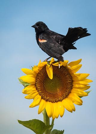 Maker:  Don Angle<br /> Title:  Redwing Black Bird on Sunflower<br /> Category:  Wildlife<br /> Score:  12