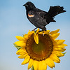 Maker:  Don Angle<br /> Title:  Redwing Black Bird on Sunflower<br /> Category:  Wildlife<br /> Score:  12