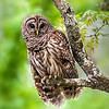 Maker:  Dwayne Anders<br /> Title:  Lake Martin Owl<br /> Category:  Wildlife<br /> Score:  13