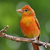 Maker:  Don Angle<br /> Title:  Summer Tanager<br /> Category:  Wildlife<br /> Score:  11