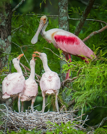 Maker:  Don Angle<br /> Title:  Roseate Spoonbill - Feeding Time<br /> Category:  Wildlife<br /> Score:  11