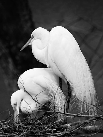 Maker:  Dwayne Anders<br /> Title:  Lake Martin Egrets<br /> Category:  Black & White<br /> Score:  12