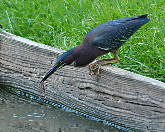 Maker:  Don Angle<br /> Title:  Little Green Heron Fishing<br /> Category:  Pictorial<br /> Score:  11