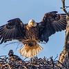 Maker:  Dale Lindenberg<br /> Title:  Eagle with Chick<br /> Category:  Wildlife<br /> Score:  11
