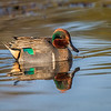 Maker:  Dale Lindenberg<br /> Title:  Green Wing Teal<br /> Category:  Wildlife<br /> Score:  11