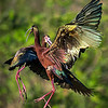 Maker:  Dwayne Anders<br /> Title:  Ibis Fight<br /> Category:  Wildlife<br /> Score:  14