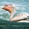 Maker:  Dale Lindenberg<br /> Title:  Pelican with Fish<br /> Category:  Wildlife<br /> Score:  14