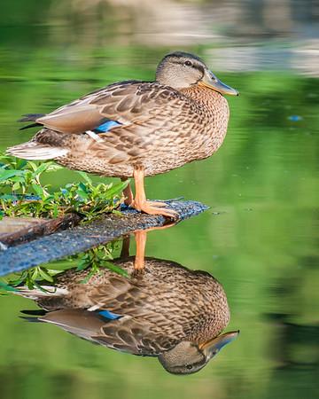 Maker:  Don Angle<br /> Title:  Mallard Reflection<br /> Category:  Pictorial<br /> Score:  12