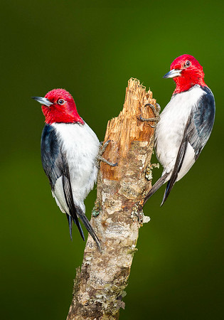 Maker:  Wilfred Smith<br /> Title:  Red Headed Woodpecker Pair<br /> Category:  Wildlife<br /> Score:  12