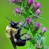 Maker:  Wayne Tabor<br /> Title:  Bee on Purple<br /> Category:  Macro/Close Up<br /> Score:  13