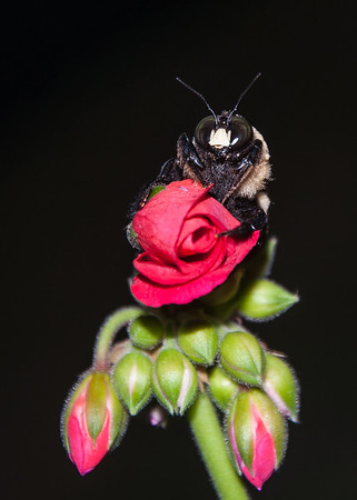Maker:  Don Angle<br /> Title:  Bumble Bee on Geranium Blossom<br /> Category:  Wildlife<br /> Score:  12
