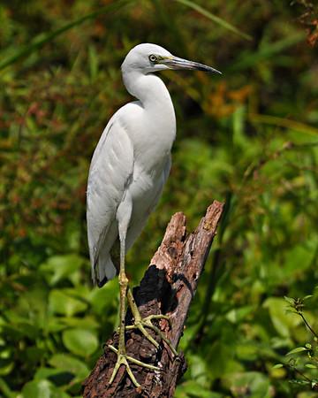 Maker:  Don Angle<br /> Title:  Juvenile Little Blue Heron<br /> Category:  Wildlife<br /> Score:  12