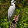 Maker:  Don Angle<br /> Title:  Juvenile Little Blue Heron<br /> Category:  Wildlife<br /> Score:  12