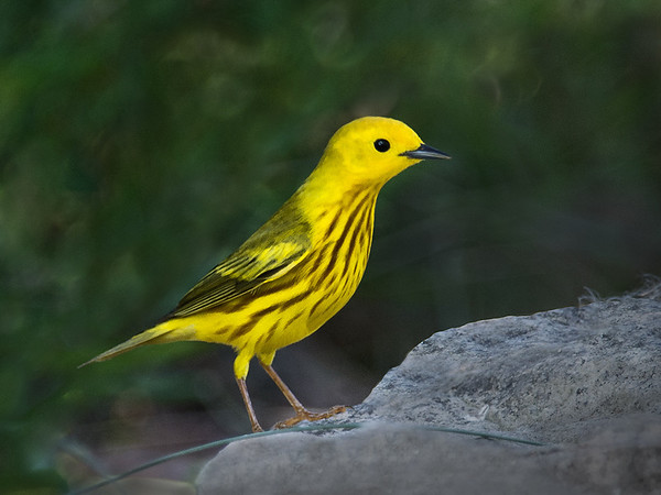 Maker:  Dwayne Anders<br /> Title:  Yellow Warbler<br /> Category:  Wildlife<br /> Score:  13