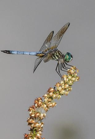 Maker:  Dale Lindenberg<br /> Title:  Dragonfly<br /> Category: Macro<br /> Score: 13
