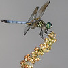 Maker:  Dale Lindenberg<br /> Title:  Dragonfly<br /> Category: Macro<br /> Score: 13