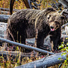Maker:  Wayne Tabor<br /> Title:  Aged Grizzly<br /> Category:  Wildlife<br /> Score:  12