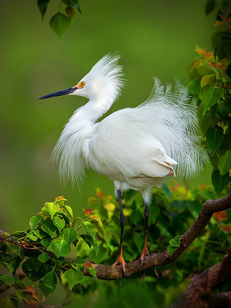 Maker:  Dwayne Anders<br /> Title:  Snowy Egret<br /> Category:  Wildlife<br /> Score:  15