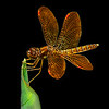 Maker:  Dale Lindenberg<br /> Title:  Dragonfly on leaf<br /> Category:  Macro/Close Up<br /> Score:  15