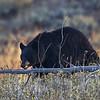 Maker:  Wayne Tabor<br /> Title:  Bear Grazing<br /> Category:  Wildlife<br /> Score:  11