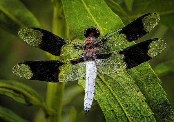 Maker:  Wayne Tabor<br /> Title:  B&W Dragonfly<br /> Category:  Macro/Close Up<br /> Score:  12