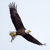 Maker:  Wilfred Smith<br /> Title:  Bald Eagle w/fish<br /> Category:  Wildlife<br /> Score:  12