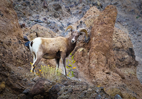 Maker:  Wayne Tabor<br /> Title:  Bighorn with Flowers<br /> Category:  Wildlife<br /> Score:  13