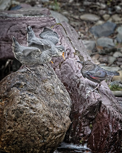 Maker:  Wayne Tabor Title:  American Dipper Feeding Chicks Category:  Wildlife Score:  14