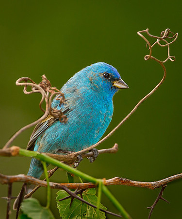 Maker:  Wayne Tabor<br /> Title:  Indigo Bunting Male<br /> Category:  Wildlife<br /> Score:  15
