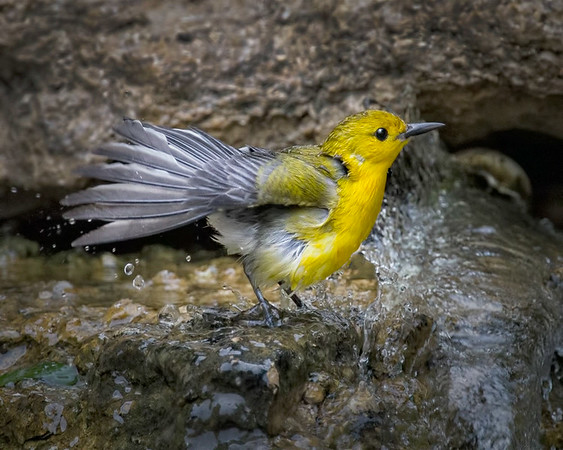 Maker:  Dale Lindenberg<br /> Title:  Yellow Bird<br /> Category:  Wildlife<br /> Score:  13