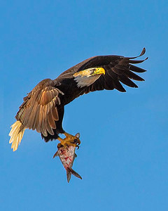 Maker:  Dale Lindenberg Title:  Eagle w/fish Category:  Wildlife Score:  11